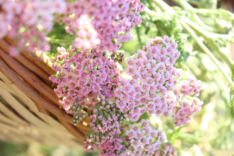 alchillea milefolium